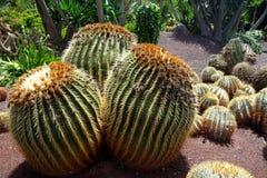 Kaktus i botanisk trädgård i den Fuerteventura ön arkivfoton