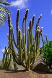 Kaktus i botanisk trädgård i den Fuerteventura ön fotografering för bildbyråer