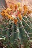 Kaktus i ciernie Zdjęcia Royalty Free