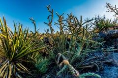 Kaktus i dalen av brand Lava Field i nytt - Mexiko Royaltyfri Fotografi