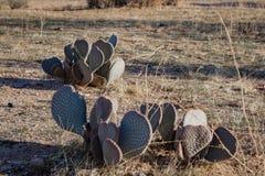 Kaktus i den Kalifornien öknen arkivfoton