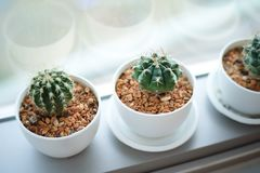 Kaktus i den vita krukan Arkivfoton