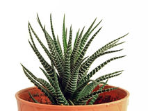 Kaktus i en blommakruka arkivbilder