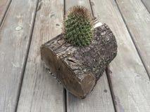 Kaktus i en journal Arkivfoton