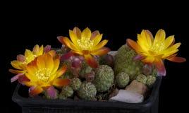 Kaktus i en kruka som isoleras på en svart bakgrund Arkivfoto
