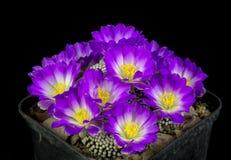 Kaktus i en kruka som isoleras på en svart bakgrund Royaltyfri Foto