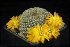 Kaktus i en kruka som isoleras på en svart bakgrund Royaltyfri Fotografi