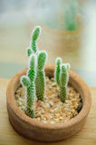 Kaktus i en lerakruka Arkivfoto