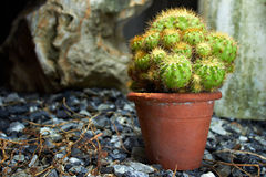 Kaktus i en liten trädgård Royaltyfri Foto
