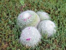 Kaktus i gräset royaltyfria foton