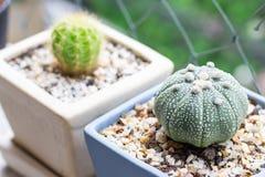 Kaktus i keramisk kruka Royaltyfria Bilder