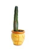 Kaktus i kruka Arkivfoton