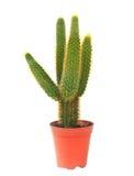 Kaktus i kruka isolerad vit bakgrund royaltyfri fotografi
