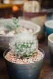 Kaktus i krukan Royaltyfri Foto