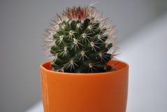 Kaktus i krukan royaltyfria bilder