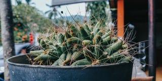 Kaktus i krukan som är passande för bakgrund och befordrings- massmediabakgrund arkivbild
