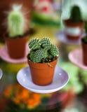 Kaktus i krukan - taggig inomhus blomma Fotografering för Bildbyråer