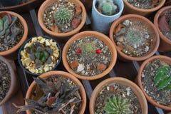 Kaktus i krukar Royaltyfria Bilder