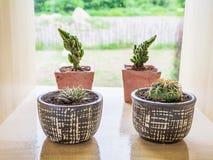 Kaktus i krukar Arkivbilder