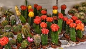 Kaktus i krukor på supermarkethyllorna Arkivbilder