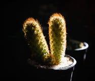Kaktus i krukor, strålljus Arkivbild