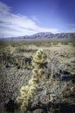 Kaktus i landskap av den Searles dalen Arkivbilder