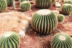 Kaktus i museum på Thailand Arkivbild