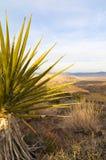 Kaktus i nationalpark för Joshua Tree Arkivfoton