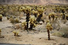 Kaktus i nationalpark för Joshua Tree Arkivbilder