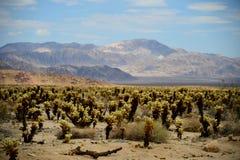 Kaktus i nationalpark för Joshua Tree Arkivfoto
