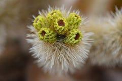 Kaktus i nationalpark för Joshua Tree Arkivbild