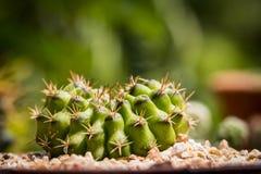 Kaktus i oskarp bakgrund Royaltyfri Fotografi