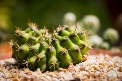 Kaktus i oskarp bakgrund Royaltyfria Foton