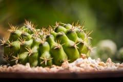 Kaktus i oskarp bakgrund Arkivbilder