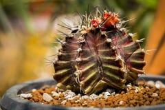 Kaktus i oskarp bakgrund Royaltyfri Bild