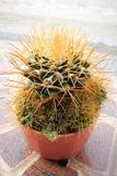 Kaktus i plast- kruka Arkivbild