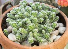 Kaktus i röd kruka Fotografering för Bildbyråer