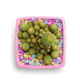 Kaktus i rosa färgkruka Royaltyfria Foton
