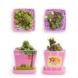 Kaktus i rosa färgkruka Royaltyfri Fotografi