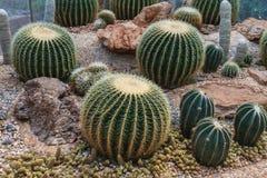 Kaktus i simulerad miljöökenträdgård Royaltyfria Foton