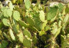 Kaktus i solljuset Royaltyfri Foto