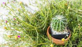 Kaktus i svart kruka Royaltyfria Foton