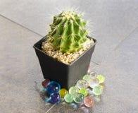 Kaktus i svart kruka Fotografering för Bildbyråer