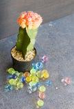 Kaktus i svart kruka Royaltyfria Bilder