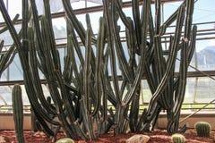 Kaktus i thai tropisk trädgård Arkivfoto