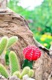 Kaktus i trädgård Royaltyfria Foton