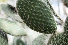 Kaktus i trädgård suckulent växt i sommar Royaltyfria Foton