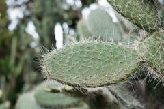Kaktus i trädgård suckulent växt i sommar Royaltyfri Bild