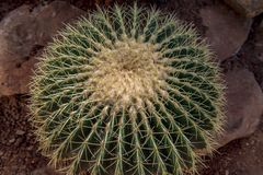 Kaktus i trädgården arkivfoton