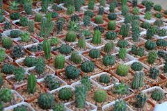 Kaktus i trädgården Royaltyfri Fotografi